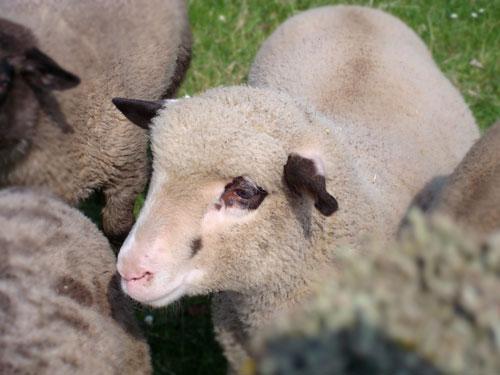Lamb for Sacrifice