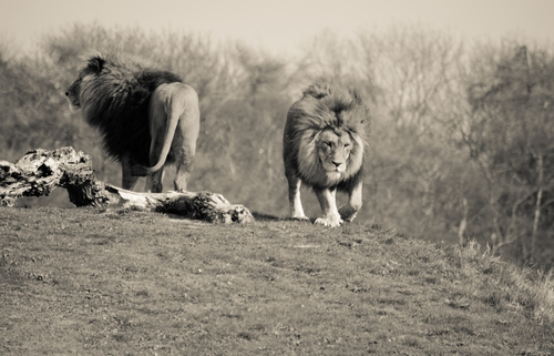 Lions of Judgment